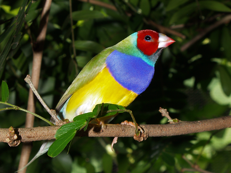 Gouldian-Finch-1 Top 20 Most Beautiful Colorful Birds in The World
