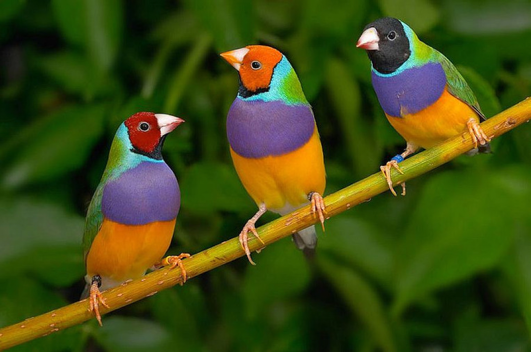 Gouldian-Finch.-1 Top 20 Most Beautiful Colorful Birds in The World