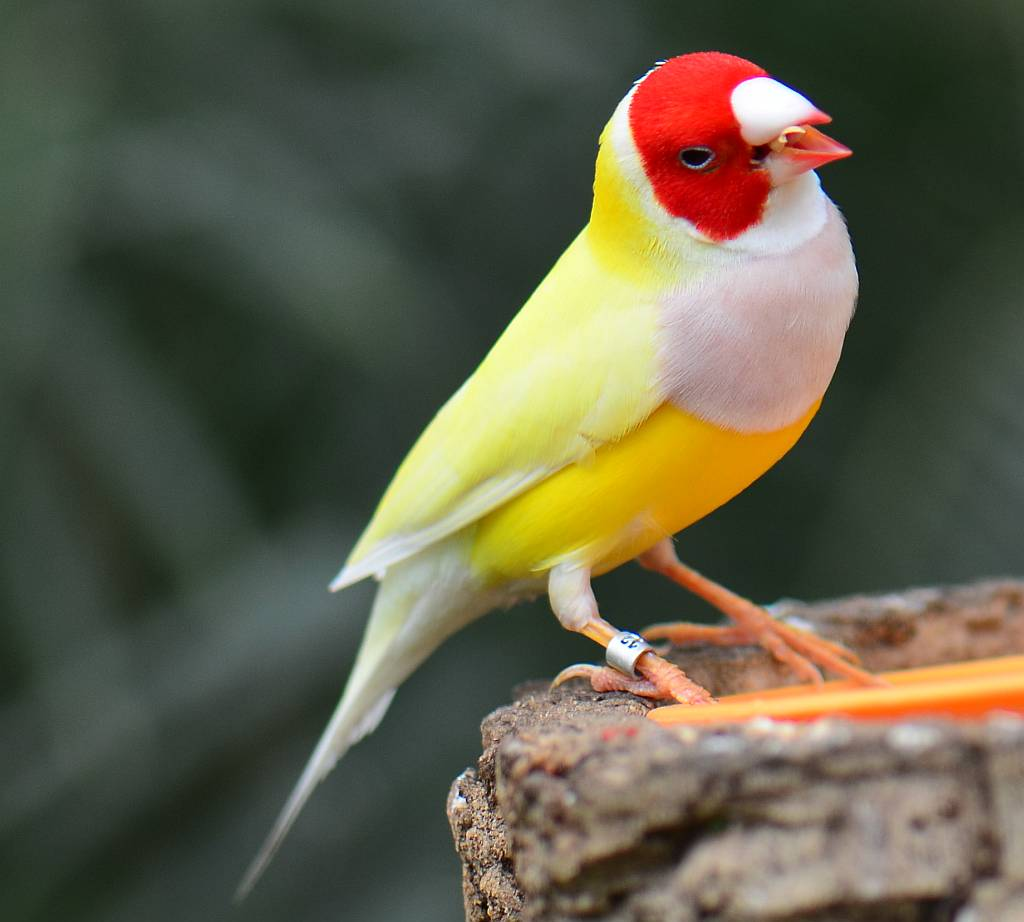Gouldian-Finch.. Top 20 Most Beautiful Colorful Birds in The World