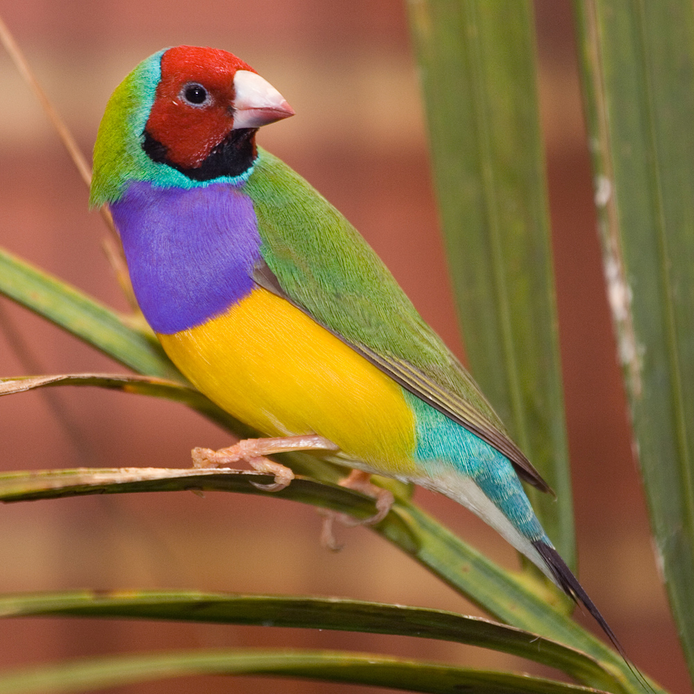 Gouldian-Finch. Top 20 Most Beautiful Colorful Birds in The World