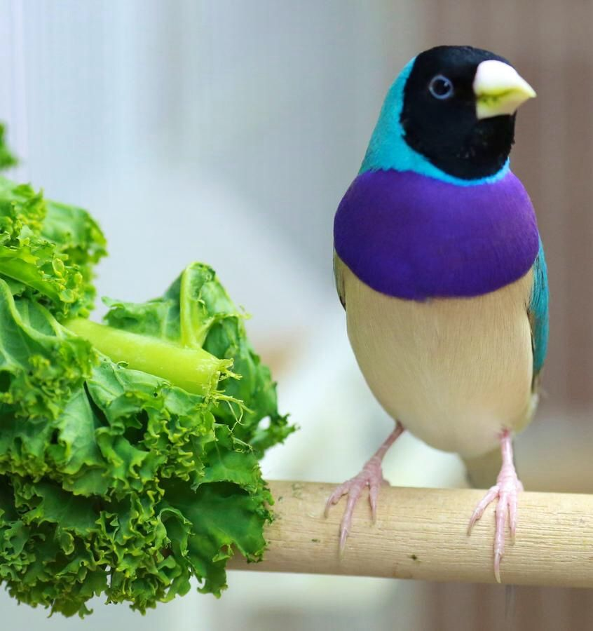 Gouldian-Finch Top 20 Most Beautiful Colorful Birds in The World