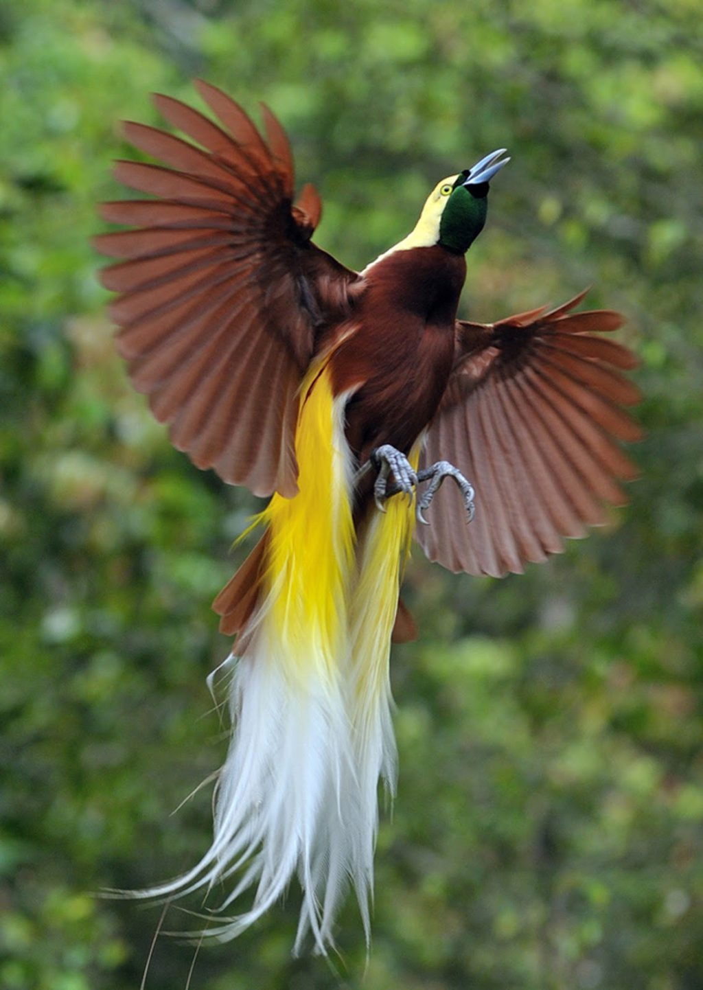 Greater-bird-of-paradise-3-1024x1442 Top 20 Most Beautiful Colorful Birds in The World