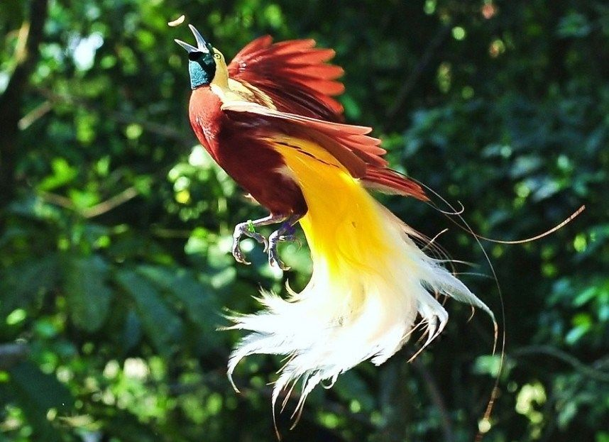 Greater-bird-of-paradise.-1 Top 20 Most Beautiful Colorful Birds in The World