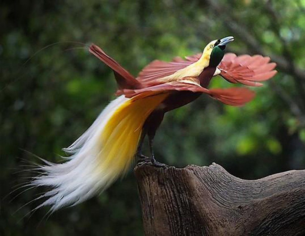 Greater-bird-of-paradise.-2 Top 20 Most Beautiful Colorful Birds in The World