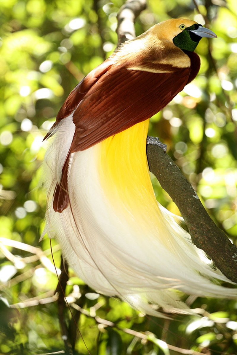 Greater-bird-of-paradise. Top 20 Most Beautiful Colorful Birds in The World