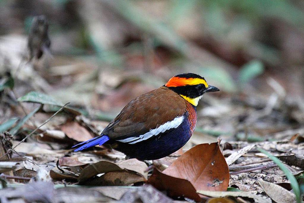 Gurneys-pitta.. Top 20 Most Beautiful Colorful Birds in The World