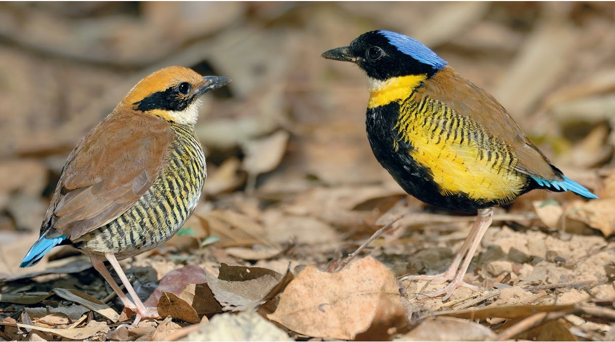 Gurneys-pitta Top 20 Most Beautiful Colorful Birds in The World