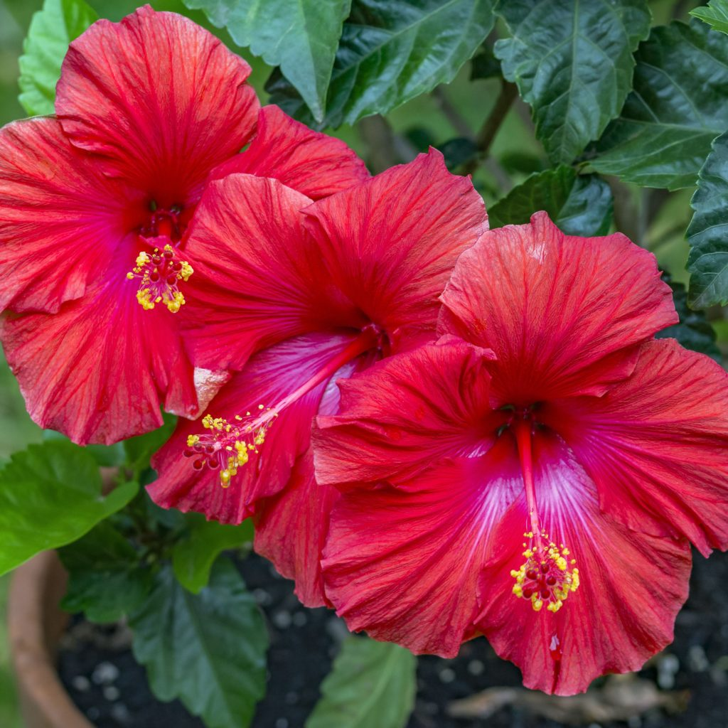 Hibiscus-1024x1024 Best 30 Bright Colorful Flowers for Your Garden