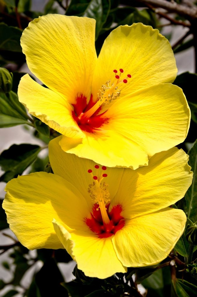Hibiscus-Flowers-675x1013 Best 30 Bright Colorful Flowers for Your Garden