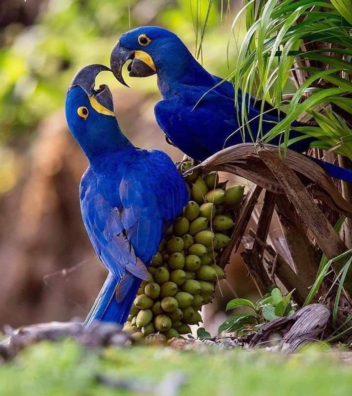 Hyacinth-Macaw-.. Top 20 Most Beautiful Colorful Birds in The World