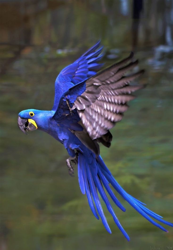 Hyacinth-Macaw-. Top 20 Most Beautiful Colorful Birds in The World