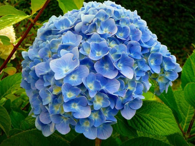 Hydrangea-1-675x506 Top 10 Most Expensive Flowers in The World