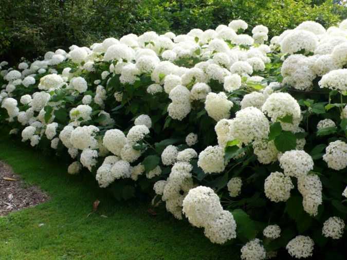Hydrangea-2-675x506 Top 10 Most Expensive Flowers in The World