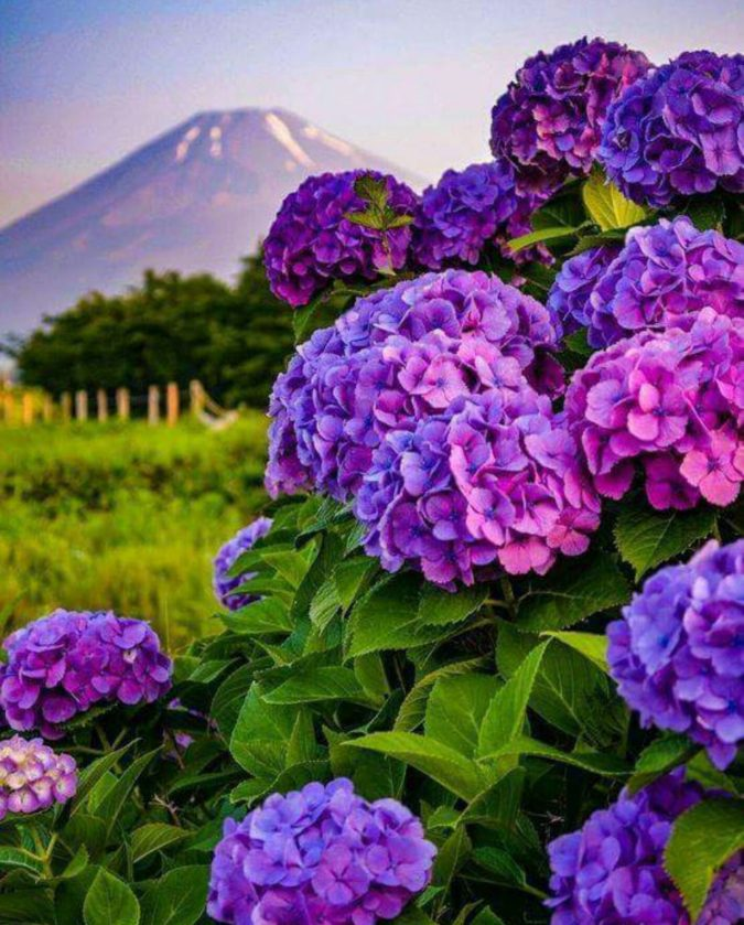 Hydrangea..-675x839 Top 10 Most Expensive Flowers in The World
