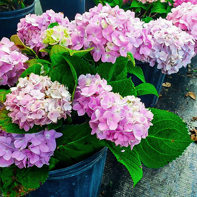 Hydrangea. Top 10 Most Expensive Flowers in The World