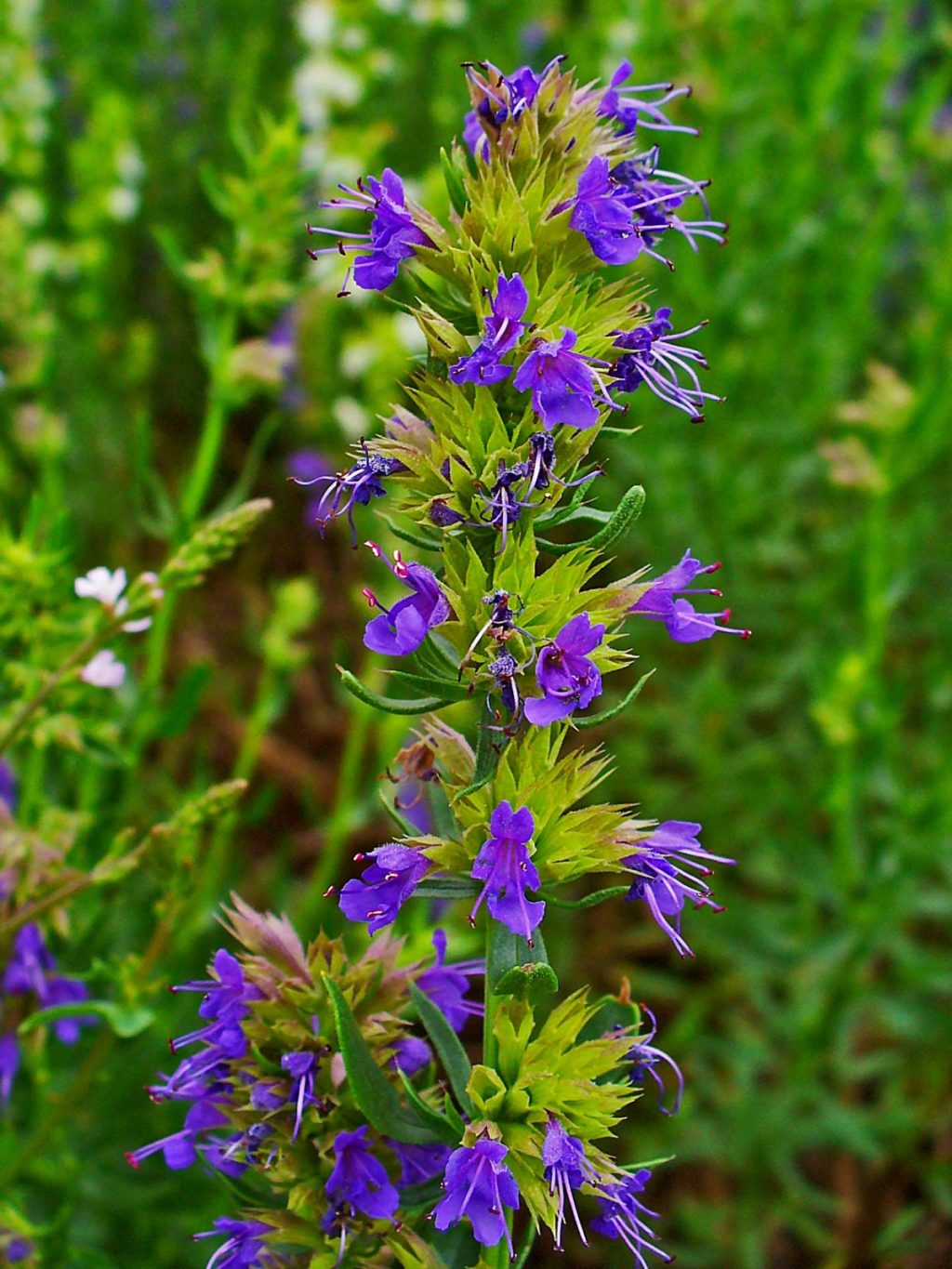 Hyssop-1024x1365 Best 30 Bright Colorful Flowers for Your Garden