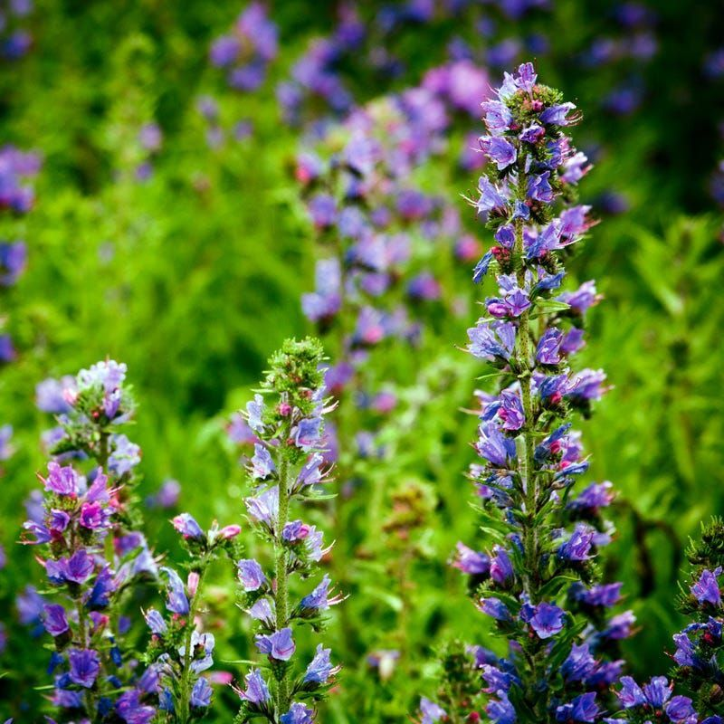Hyssop. Best 30 Bright Colorful Flowers for Your Garden