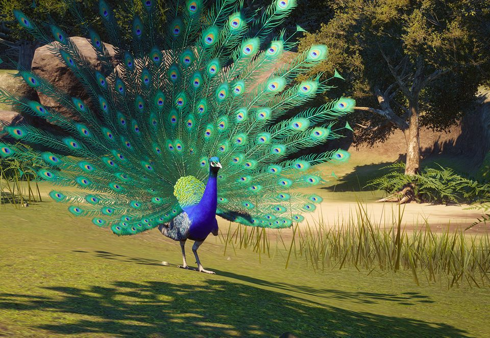 Indian-Peafowl Top 20 Most Beautiful Colorful Birds in The World