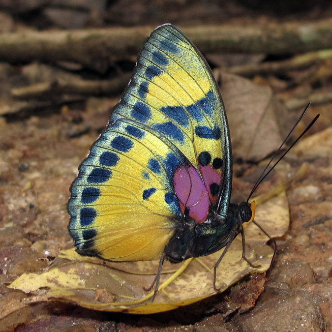 Janetta-Forester-675x675 Top 10 Most Beautiful Colorful Butterflies Species