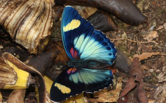 Janetta-Forester.-675x419 Top 10 Most Beautiful Colorful Butterflies Species