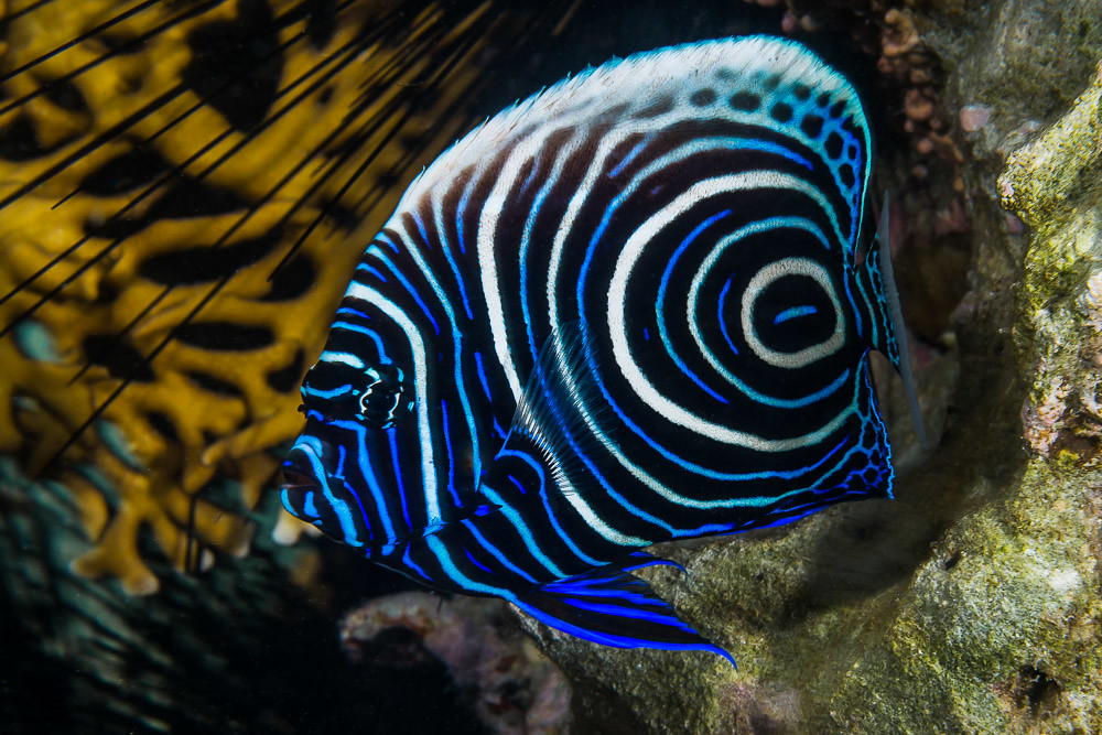 Juvenile-emperor-angelfish-1 Top 10 Most Beautiful Colorful Fish Types