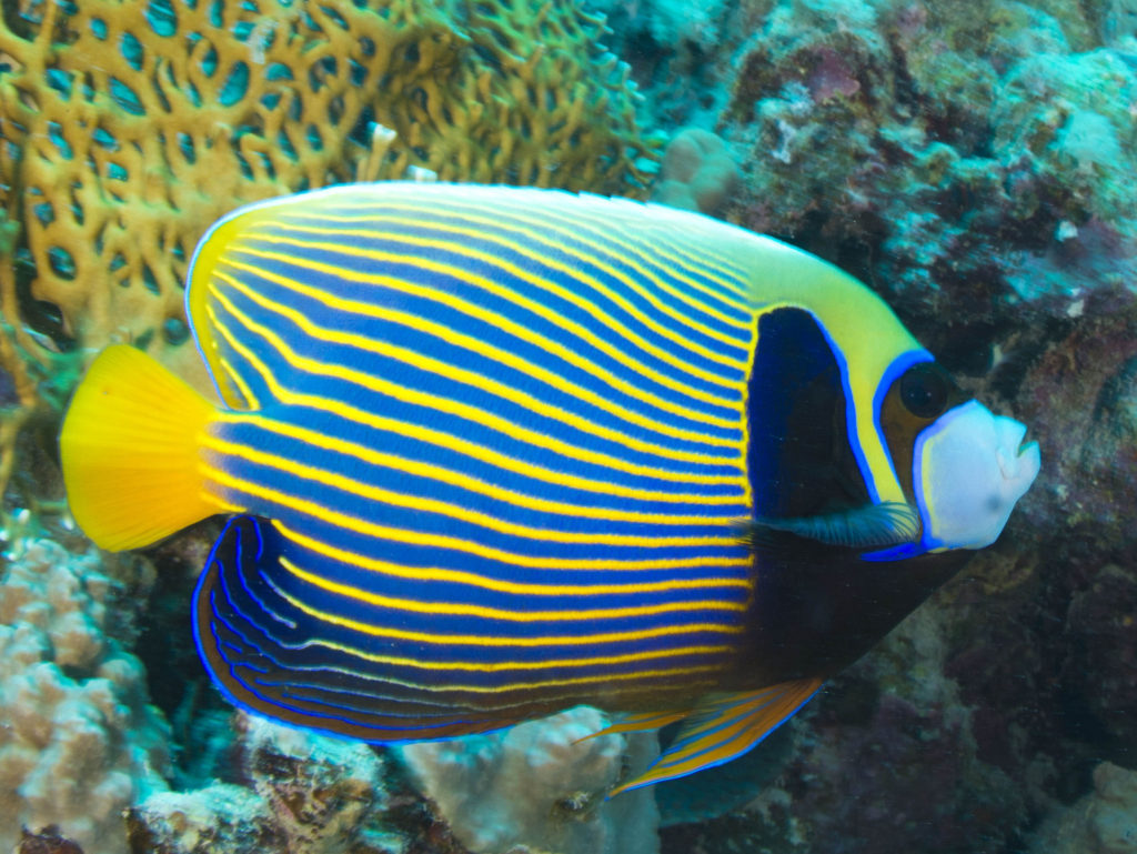 Juvenile-emperor-angelfish.-1-1024x769 Top 10 Most Beautiful Colorful Fish Types