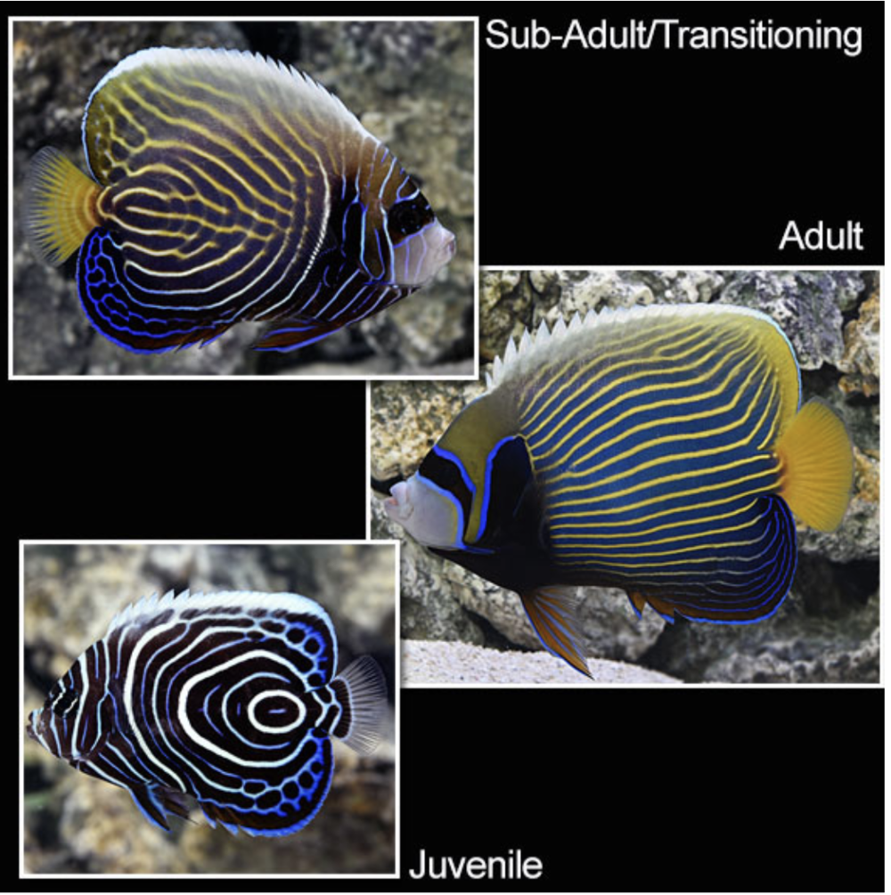 Juvenile-emperor-angelfish Top 10 Most Beautiful Colorful Fish Types