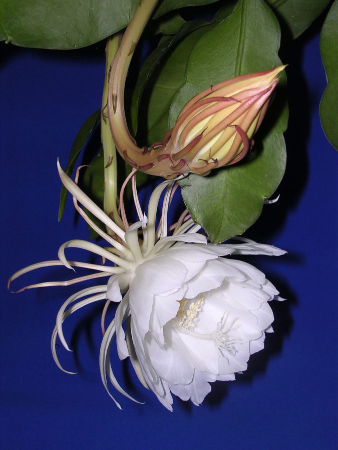 Kadupul-flower-675x900 Top 10 Most Expensive Flowers in The World