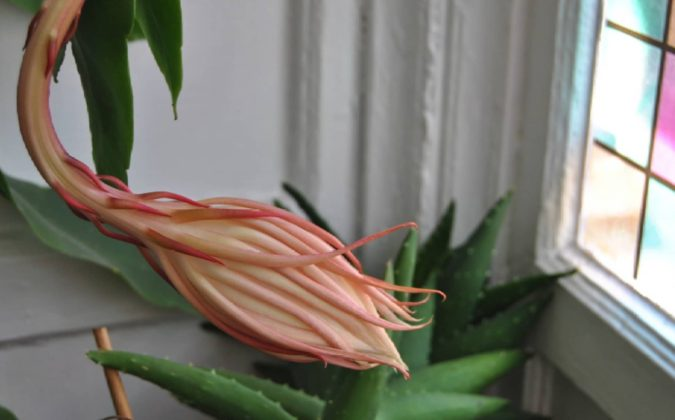 Kadupul-flower.-1-675x420 Top 10 Most Expensive Flowers in The World