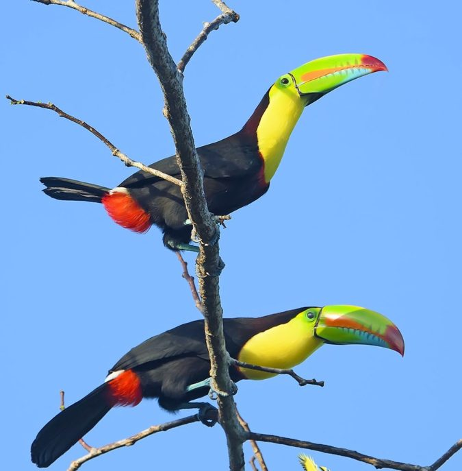 Keel-billed-toucan..-675x687 Top 20 Most Beautiful Colorful Birds in The World