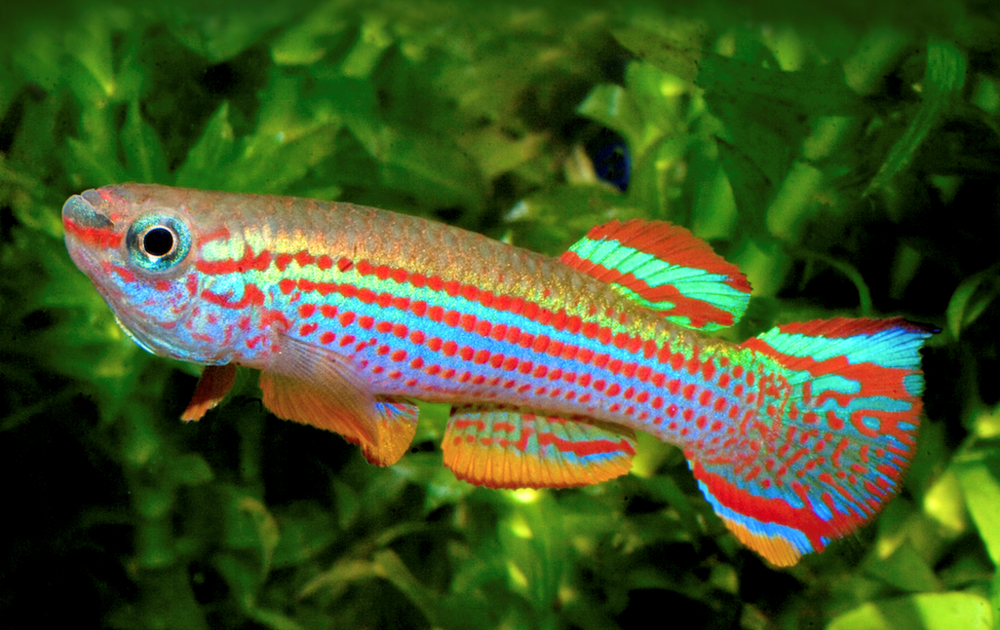 Killifish-1 Top 10 Most Beautiful Colorful Fish Types