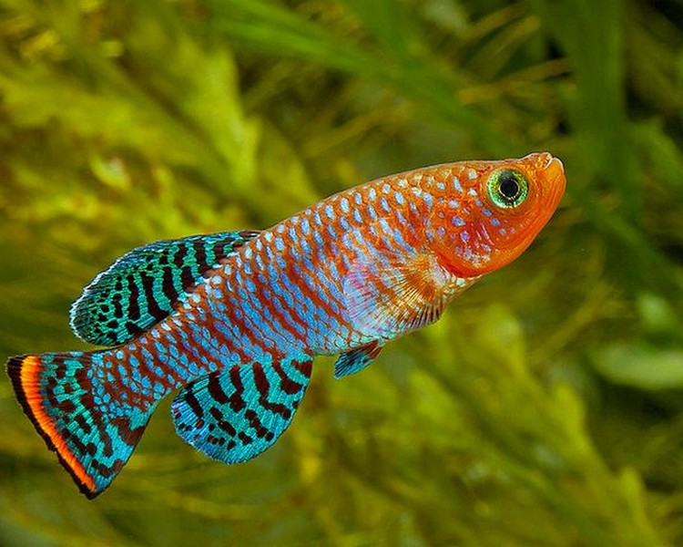 Killifish. Top 10 Most Beautiful Colorful Fish Types