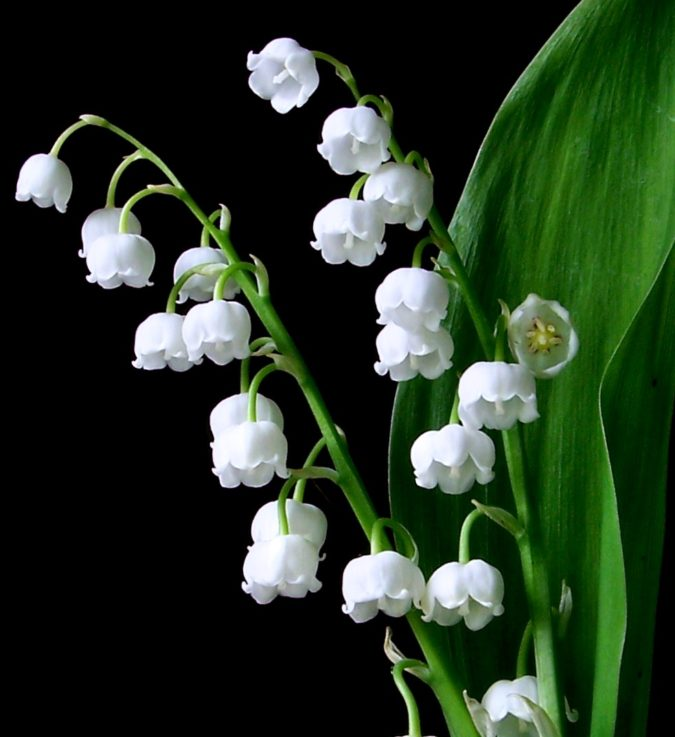 Lily-of-the-valley.-675x737 Top 10 Most Expensive Flowers in The World