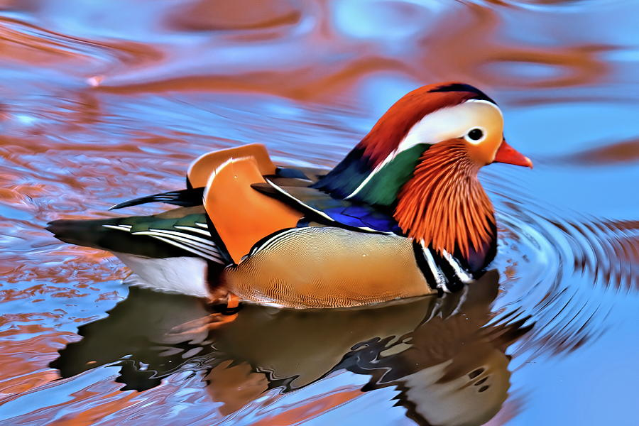 Mandarin-duck-2 Top 20 Most Beautiful Colorful Birds in The World