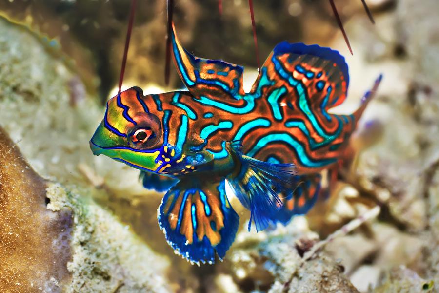 Mandarinfish-1 Top 10 Most Beautiful Colorful Fish Types