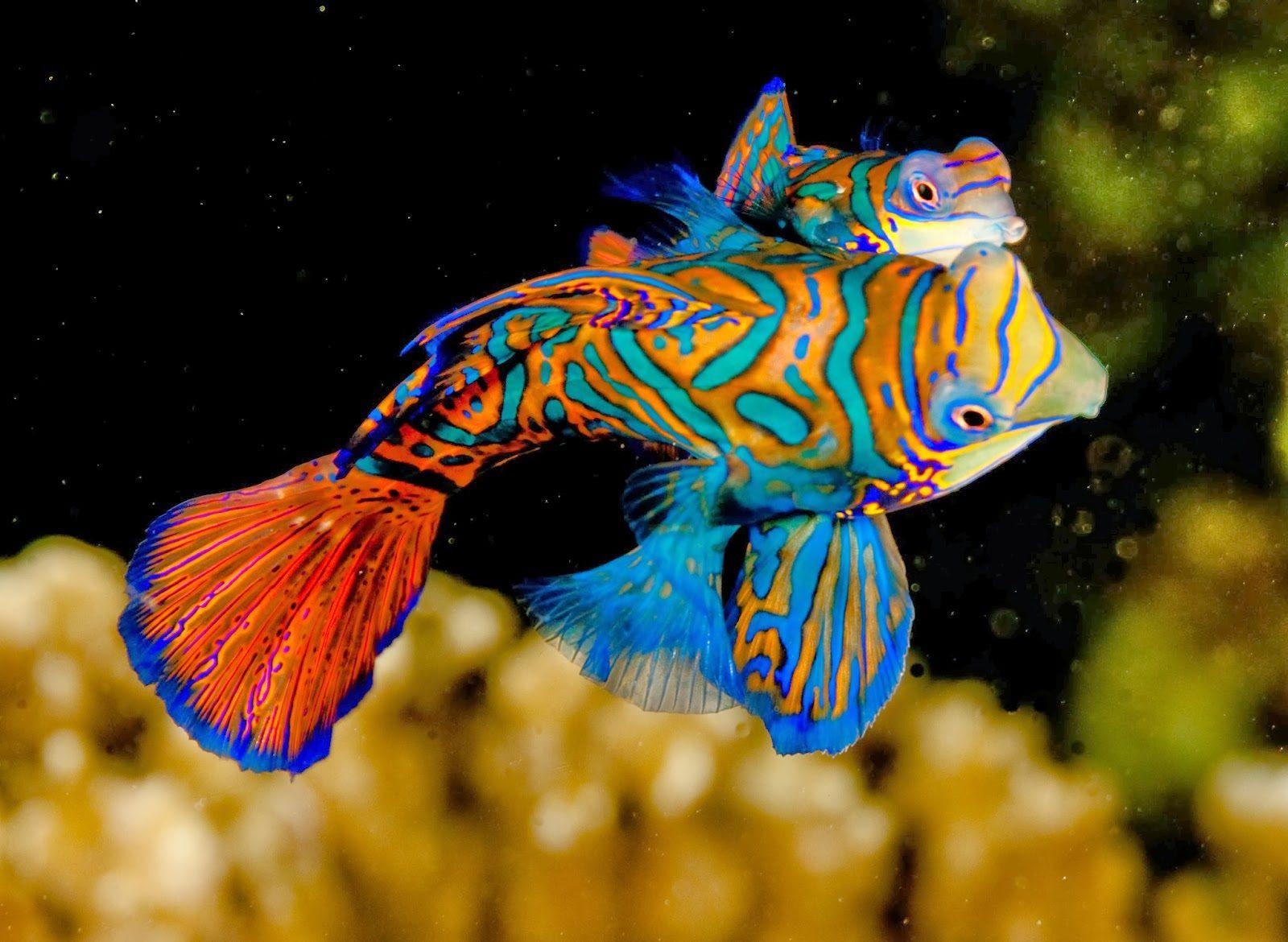 Mandarinfish..-e1597423755875 Top 10 Most Beautiful Colorful Fish Types