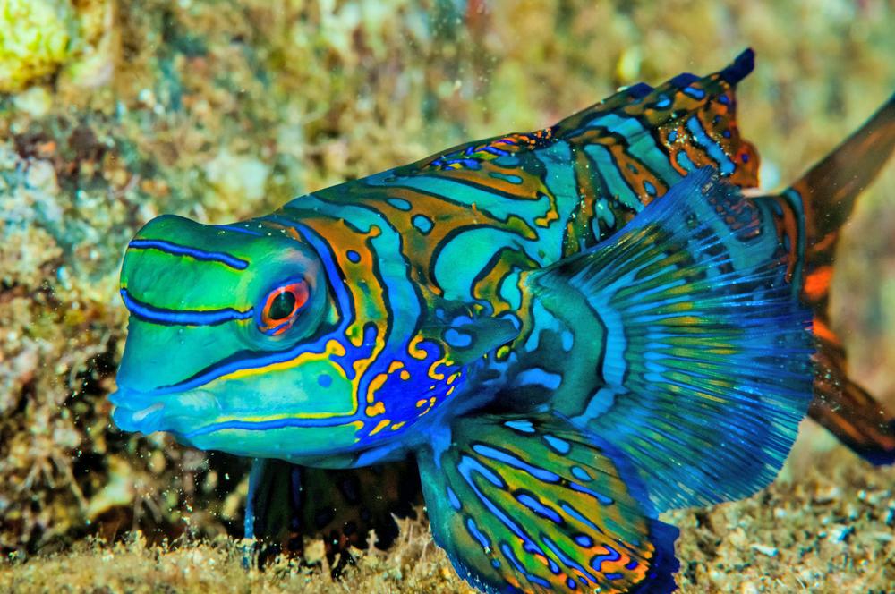 Mandarinfish Top 10 Most Beautiful Colorful Fish Types