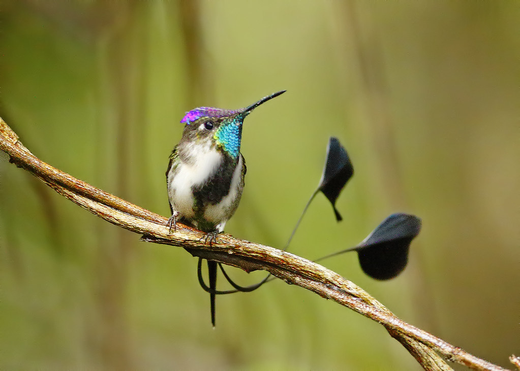 Marvelous-spatuletail-1 Top 20 Most Beautiful Colorful Birds in The World