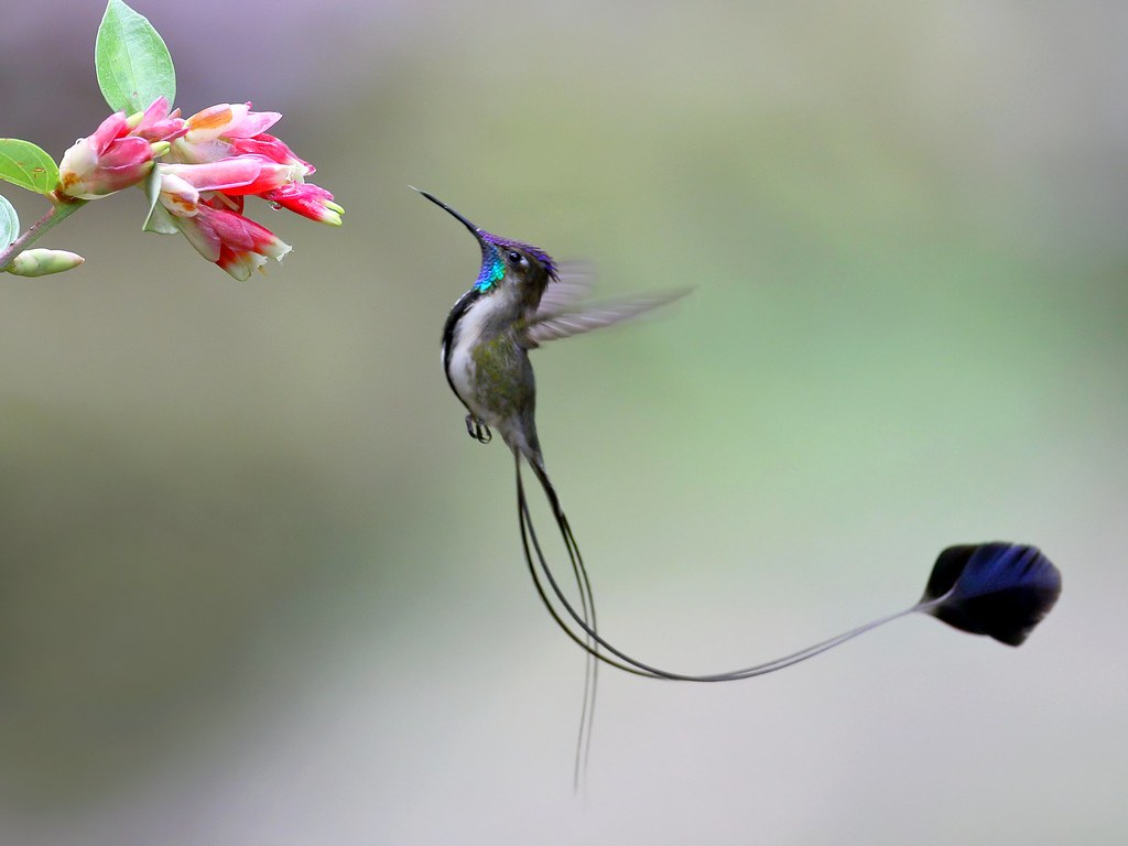 Marvelous-spatuletail.. Top 20 Most Beautiful Colorful Birds in The World
