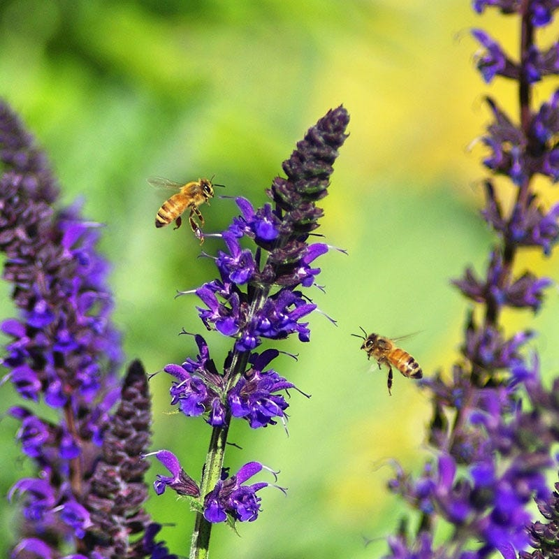 May-Night-Sage Best 30 Bright Colorful Flowers for Your Garden