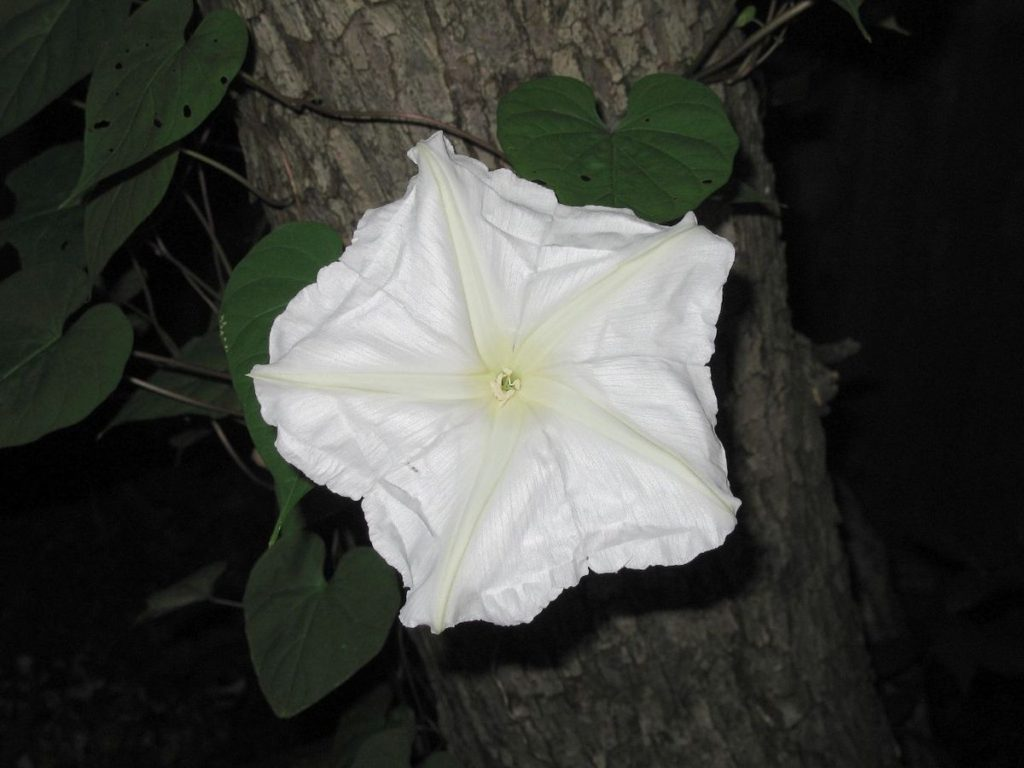 Moonflower.-1024x768 Top 10 Flowers that Bloom at Night