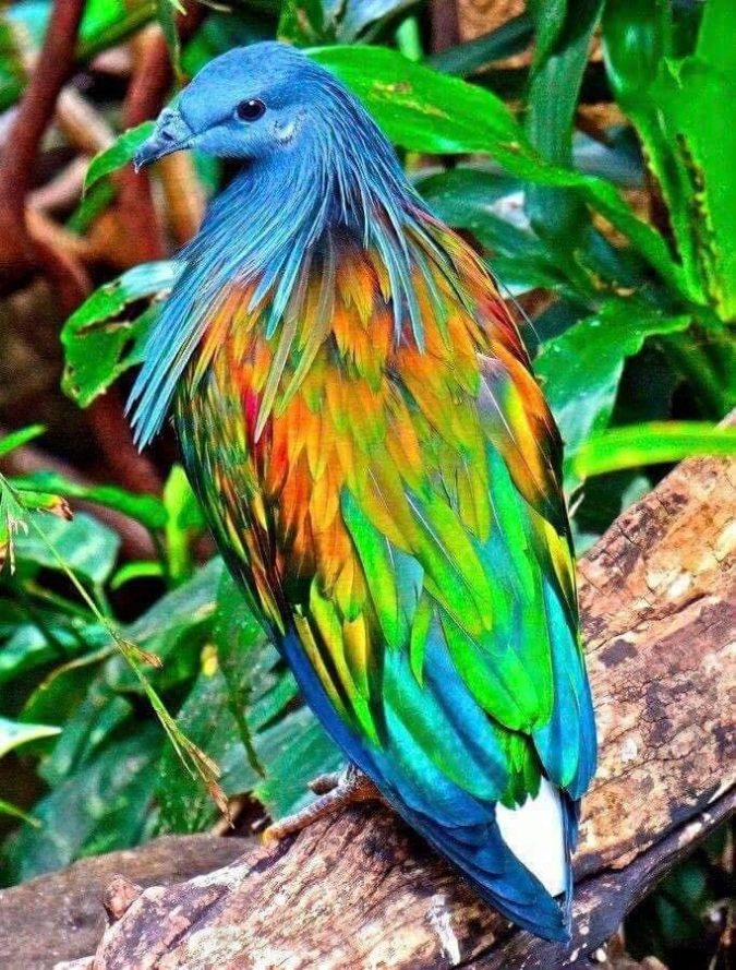 Nicobar-pigeon-675x889 Top 20 Most Beautiful Colorful Birds in The World