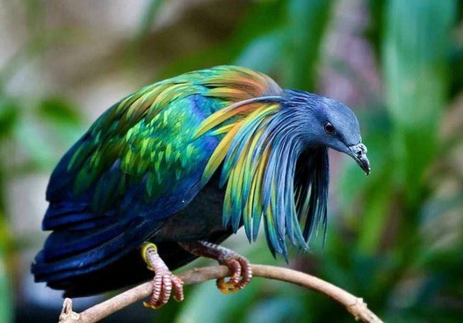 Nicobar-pigeon.-1-675x471 Top 20 Most Beautiful Colorful Birds in The World