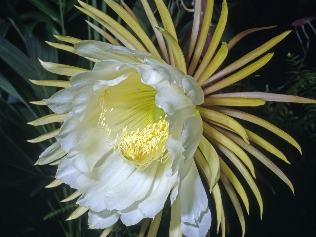 Night-Blooming-Cereus.-1024x768 Top 10 Flowers that Bloom at Night