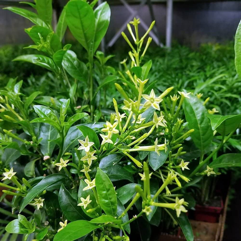 Night-Blooming-Jessamine. Top 10 Flowers that Bloom at Night
