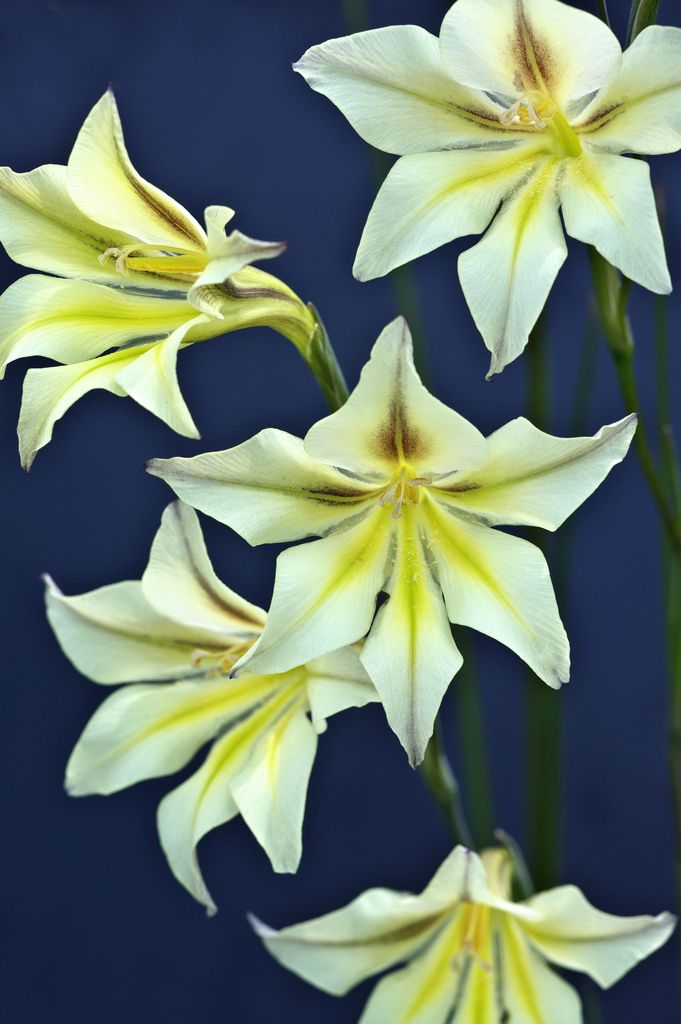 Night-Gladiolus.-1 Top 10 Flowers that Bloom at Night