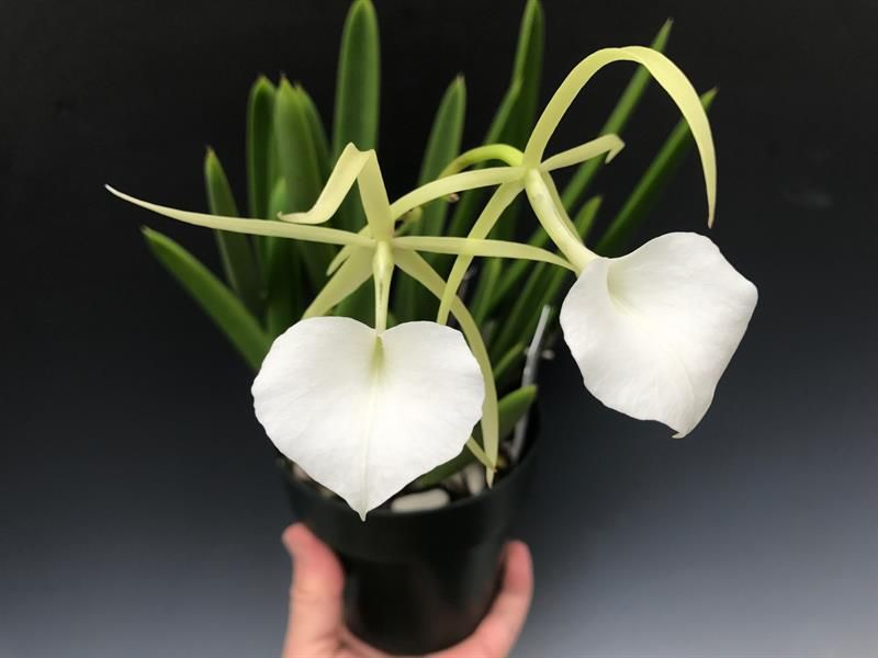 Night-Scented-Orchid Top 10 Flowers that Bloom at Night