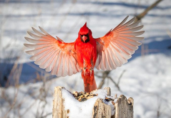 Northern-Cardinal-1-675x464 Top 20 Most Beautiful Colorful Birds in The World