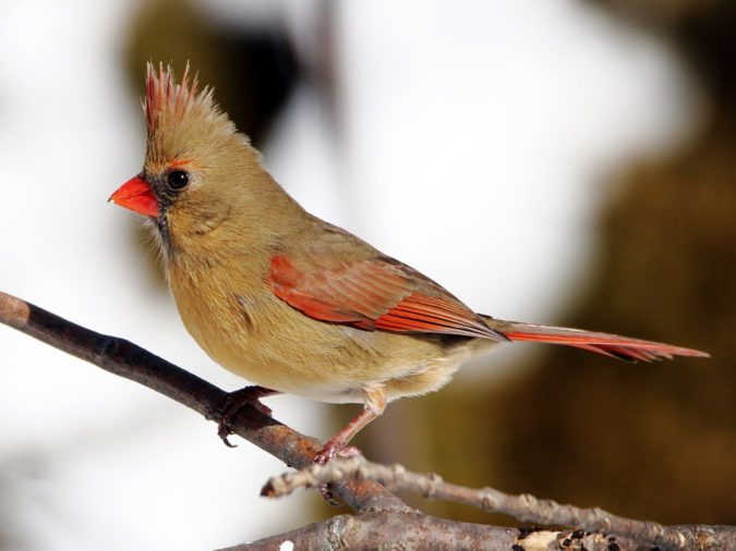 Northern-Cardinal-2-675x506 Top 20 Most Beautiful Colorful Birds in The World