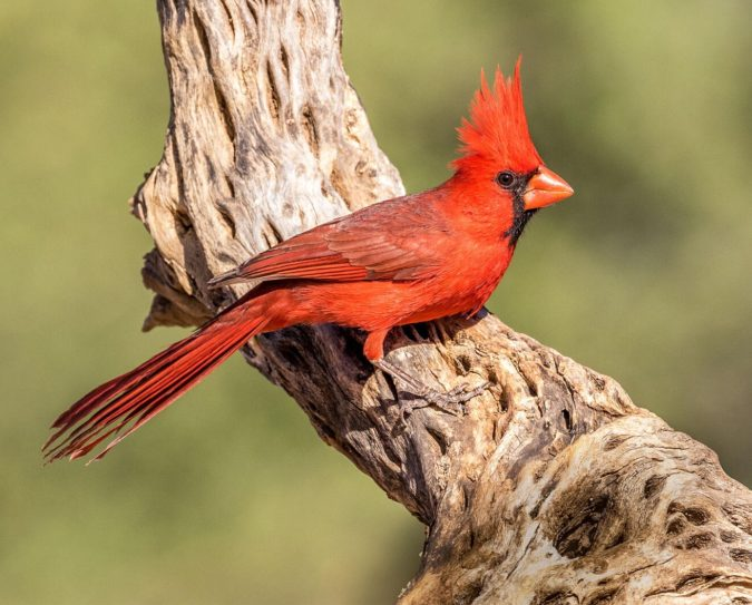 Northern-Cardinal-675x543 Top 20 Most Beautiful Colorful Birds in The World